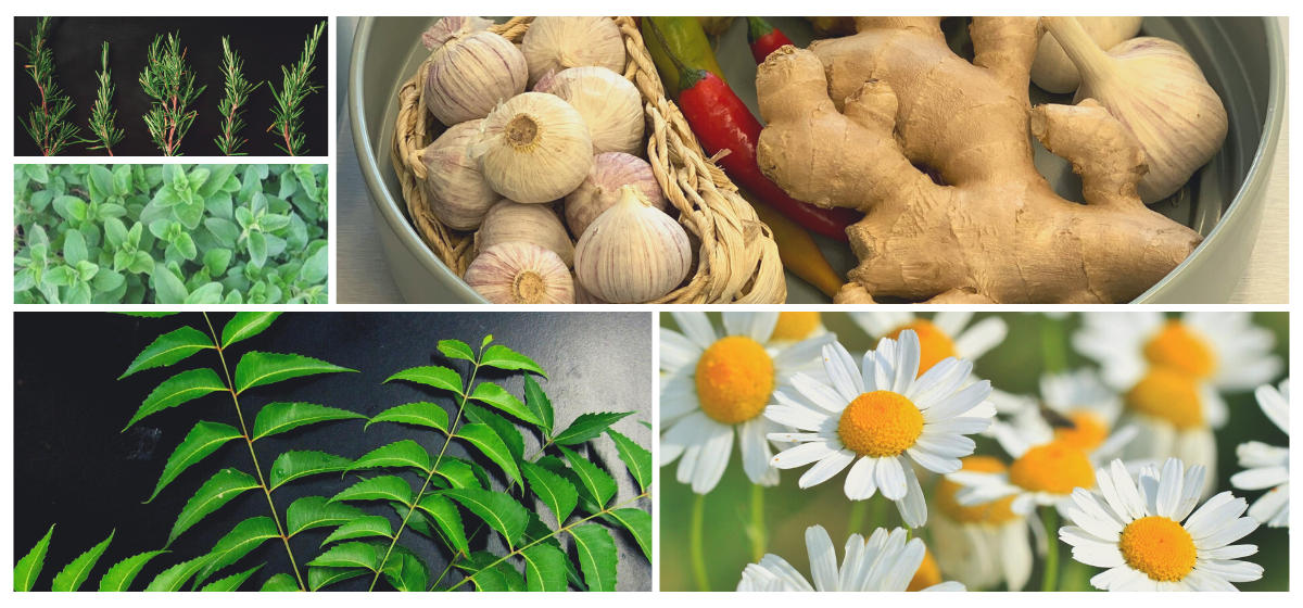 antiviral herbs for infection and flu homeremedy